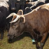 Toro de Devon y vacas de Angus. Fotos de archivo libres de regalías