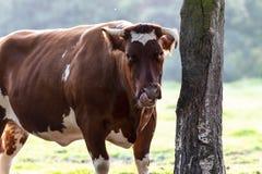 Toro de ganadería belga imagenes de archivo