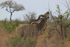Toro de Kudu imagen de archivo