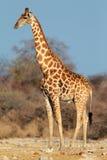 Toro de la jirafa imagen de archivo