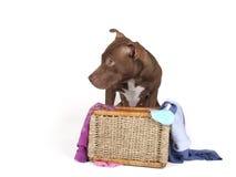 Toro de Pitb en una cesta de lavadero sucio Foto de archivo