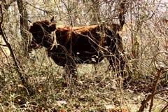 Toro de un año que pasta en la maleza de bosques subtropicales Foto de archivo