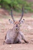 Toro de Waterbuck con los cuernos enormes que descansan sobre la tierra de un río seco Imágenes de archivo libres de regalías