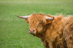 Toro del bestiame dell'altopiano Fotografie Stock Libere da Diritti