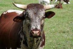 Toro del bestiame di Nguni fotografia stock