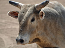 Toro del Brown con i corni Fotografia Stock
