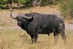 Toro del bufalo di capo Fotografie Stock