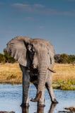 Toro del elefante Fotografía de archivo libre de regalías