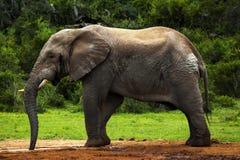 Toro del elefante Foto de archivo libre de regalías