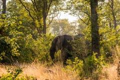Toro del elefante africano en el bosque imagenes de archivo