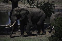 Toro del elefante con los colmillos grandes en el parque del elefante de Tembe Imagen de archivo libre de regalías