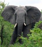 Toro del elefante en la cámara Imágenes de archivo libres de regalías
