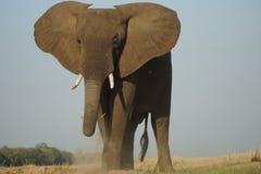 Toro del elefante que se coloca majestuoso Imagen de archivo libre de regalías