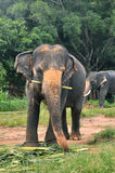 Toro del elefante y el elefante femenino Imagen de archivo