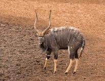 Toro del Nyala Fotos de archivo libres de regalías