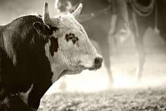 Toro del rodeo Fotografie Stock Libere da Diritti