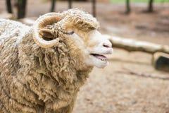 Toro dell'agnello che chiama i compagni nell'azienda agricola Fotografie Stock