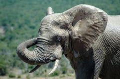 Toro dell'elefante Fotografie Stock