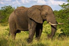 Toro dell'elefante fotografia stock libera da diritti