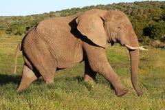 Toro dell'elefante africano immagini stock