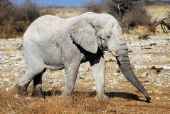 Toro dell'elefante africano nella riserva della fauna selvatica di Etosha Fotografie Stock Libere da Diritti