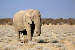 Toro dell'elefante africano nella riserva della fauna selvatica di Etosha Immagini Stock