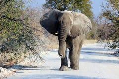 Toro dell'elefante africano nella riserva della fauna selvatica di Etosha Immagine Stock