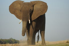 Toro dell'elefante che sta maestoso Immagine Stock Libera da Diritti