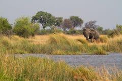 Toro dell'elefante di Mamili Fotografia Stock Libera da Diritti