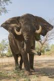 Toro dell'elefante - grande Vic di Mana Pools Immagini Stock Libere da Diritti