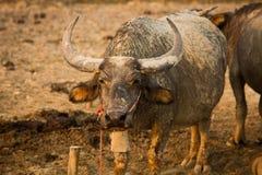 Toro della Buffalo con i corni enormi. Immagine Stock