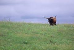 Toro della mucca texana Fotografie Stock Libere da Diritti