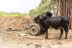 Toro dello zebù dell'africano nero legato ad un carretto di due ruote Immagini Stock
