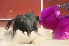 Toro di combattimento Fotografia Stock Libera da Diritti
