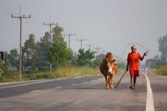 Toro di combattimento della Tailandia Immagine Stock