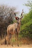 Toro di Kudu - contrasti del Bush Fotografie Stock Libere da Diritti
