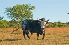 Toro di Nguni Fotografia Stock