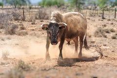 Toro di Nguni Fotografie Stock