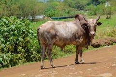 Toro domestico in Africa sulla strada del villaggio Fotografie Stock Libere da Diritti