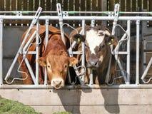 Toro e mucca che mangiano erba tramite il recinto della penna immagine stock libera da diritti