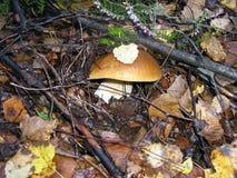 Toro edulis del boletus del fungo fotografia stock libera da diritti