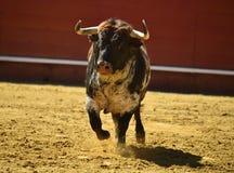 Toro enojado en España con los cuernos grandes fotografía de archivo libre de regalías