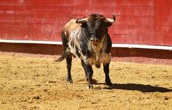 Toro enojado en España con los cuernos grandes fotografía de archivo