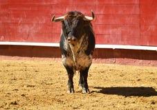 Toro enojado en España con los cuernos grandes imagen de archivo libre de regalías