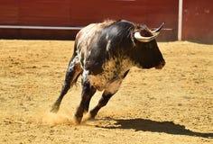 Toro enojado en España con los cuernos grandes foto de archivo