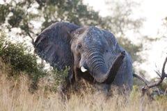 Toro enorme del elefante imagen de archivo libre de regalías