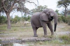 Toro enorme del elefante imágenes de archivo libres de regalías