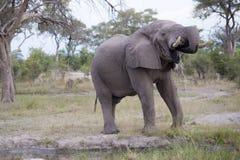 Toro enorme dell'elefante Immagini Stock Libere da Diritti
