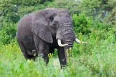 Toro enorme dell'elefante africano Fotografia Stock
