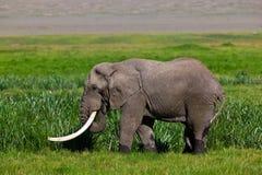 Toro enorme dell'elefante africano Fotografie Stock Libere da Diritti